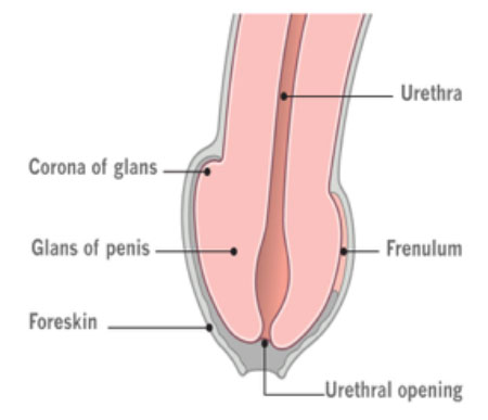 the foreskin